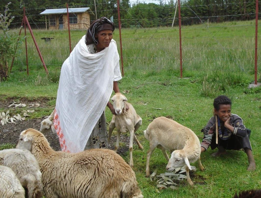 sheep-Ethiopia