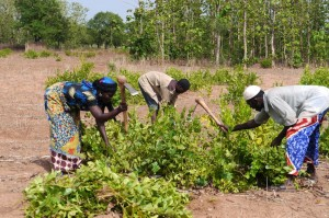 Family farming in Yilikpani, Northern Region of Ghana