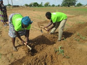 Madam Adukpoka and Mr Akolgo use hand held tools to dig rows in the demonstration plot.