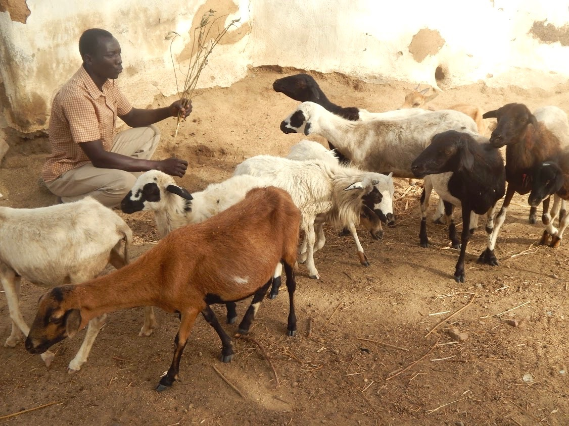 Vaccinating goats: Peter Boare with his goat herd.