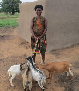 Livestock: Madam Assibi with her goats