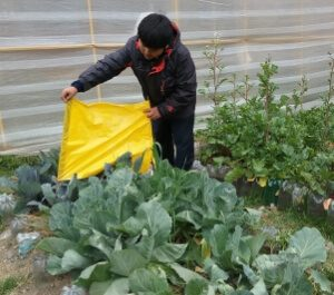 A young boy covers his crops with a tarp