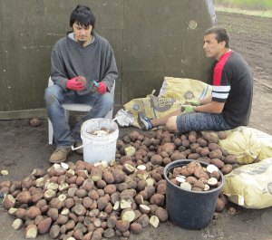young men harvesting potatoes in the garden