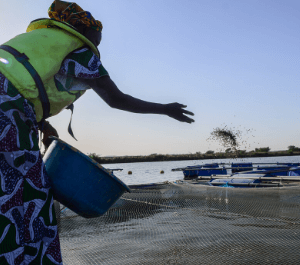 A woman throws fish feed to her fingerlings on the water