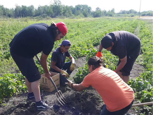 a group of people digging up harvested produce in a field