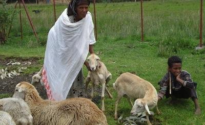 sheep-Ethiopia-1024x780